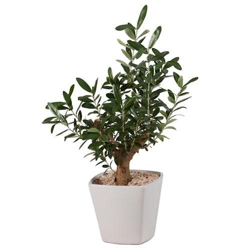 עץ זית בכלי קרמיקה