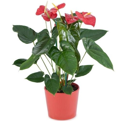 צמח אנטוריום בכלי קרמיקה