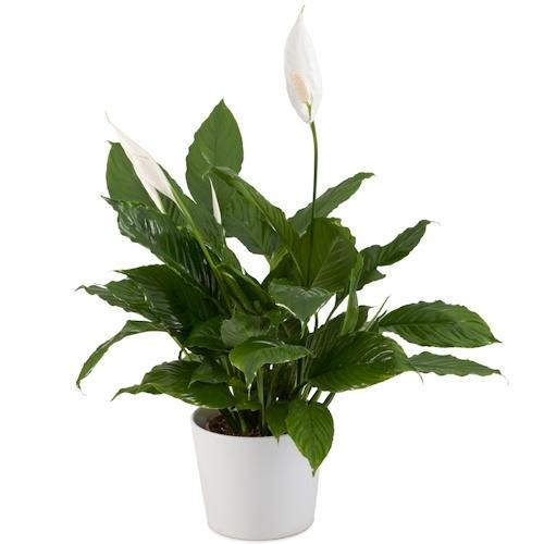 צמח ספיטיפיליום