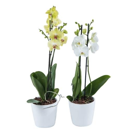 סחלב פנלופסיס בכלי קרמיקה - חנות פרחים בראשון לציון