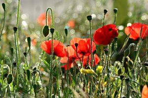 תמונה של קלניות 5 עובדות על פרחים