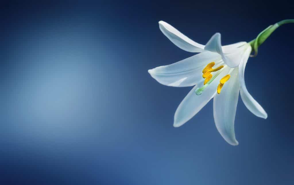 תמונה של סידור פרחים שושן צחור