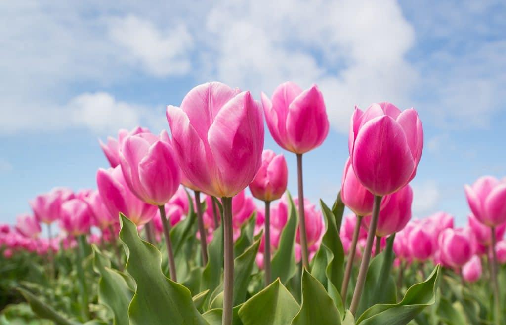 תמונה של סידור פרחים טוליפים